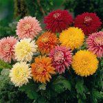 Χρυσάνθεμα (Γένος Chrysanthemum). Διακοσμητικό Φυτό για τον Κήπο και το Εσωτερικό του Σπιτιού