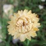Ελίχρυσο (Helichrysum bracteatum). Διακοσμητικό Φυτό για τον Κήπο