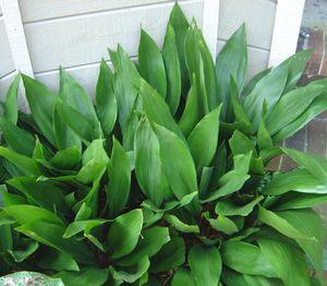 φυτό ασπιδίστρας 2