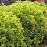 Ευώνυμο (Γένος Euonymus). Θάμνοι για τον Κήπο
