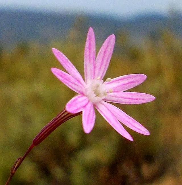 Σιληνή (Silene corinthiaca). Διακοσμητικό Φυτό για τον Κήπο