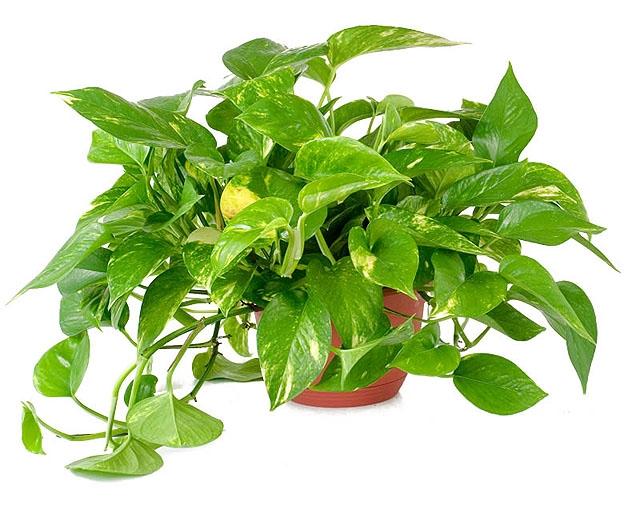 Πόθος. Διακοσμητικό Φυτό για τον Κήπο και το Εσωτερικό του Σπιτιού