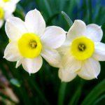 Νάρκισσος (Γένος Narcissus). Διακοσμητικό Φυτό για Νότια Μέρη στον Κήπο