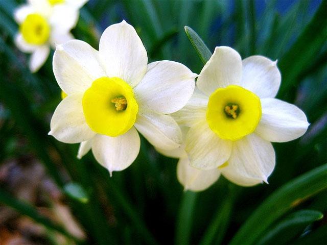 Νάρκισσος (Γένος Narcissus)