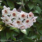 Κεράκι (Hoya carnosa). Διακοσμητικό Φυτό για τον Κήπο και το Εσωτερικό του Σπιτιού