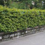 Βίβουρνο (Viburnum tinus). Θάμνοι για τον Κήπο