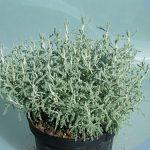 Λεβαντίνη (Santolina chamaecyparissus). Διακοσμητικό Φυτό για Μπορντούρα στον Κήπο