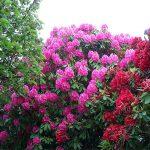 Αζαλέα (Γένος Rhododendron). Θάμνοι για τον Κήπο