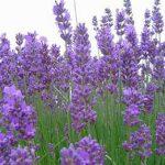 Λεβάντα (Lavandula vera). Διακοσμητικό Φυτό για Μπορντούρα στον Κήπο
