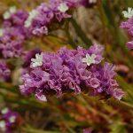 Στατική (Limonium sinuatum, Statice). Διακοσμητικό Φυτό για τον Κήπο
