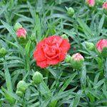 Γαρύφαλλο (Γένος Dianthus). Διακοσμητικό Φυτό για τον Κήπο και το Εσωτερικό του Σπιτιού