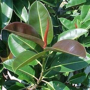 Ficus elastica ο ελαστικοφόρος, κοινώς λαστιχόδεντρο