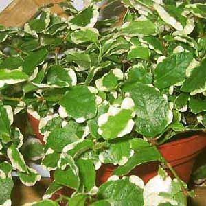 Ficus pumila: λεπτά, αναρριχώμενα ή κρεμαστά κλαδιά, με ρίζες-βεντούζες, κατάλληλος για κρεμαστή γλάστρα
