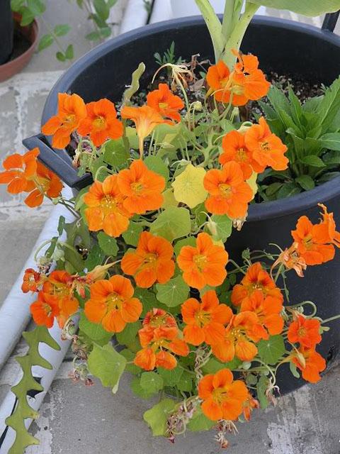 Καπουτσίνος - Πορτοκαλί Άνθη