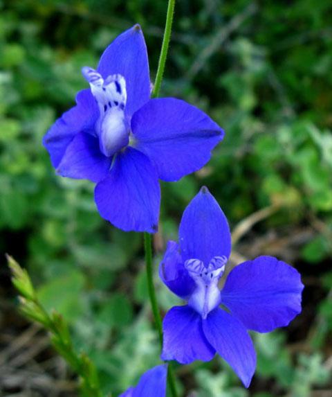 Καπουτσίνος - Μπλε Άνθη