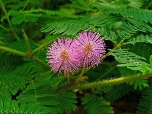 Άνθη του φυτού της μιμόζας