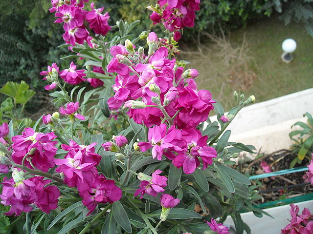 Άνθη Βιολέτας