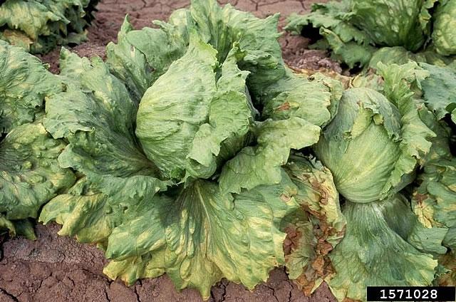 Προσβολές από Ασθένειες και Εχθρούς σε Λαχανικά και Κηπευτικά