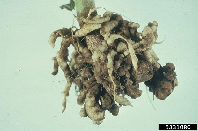 Καρκίνωση στις ρίζες μπρόκολου