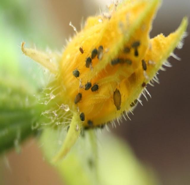 Αφίδες σε άνθος - Μπενάκειο Φυτοπαθολογικό Ινστιτούτο
