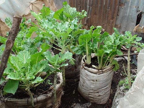 Κάθετες φάρμες, Urban Harvest, Ναϊρόμπι, Κένυα