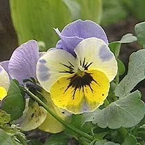 Viola Hobbit Series Lavender and Yellow