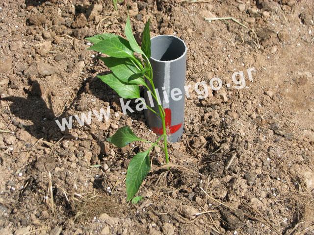 Φυτεύω το σπορόφυτο κοντά στη σωλήνα βαθιάς άρδευσης