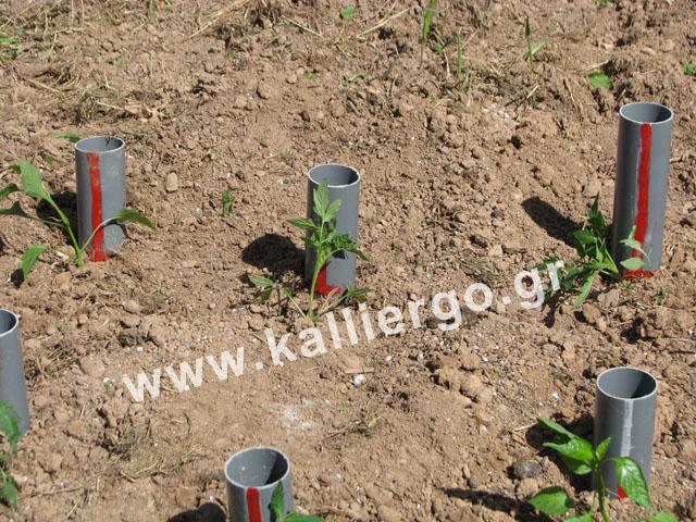 Τα σπορόφυτα φυτεμένα δίπλα στους σωλήνες