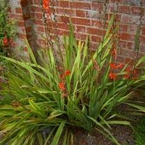 Watsonia 'Stanford Scarlet'