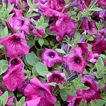 Petunia 'Purple Wave'