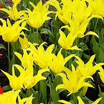 Tulipa 'West Point'