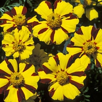 Tagetes 'Mr Majestic'