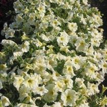 Petunia 'Prism Sunshine'