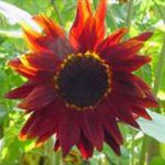 Helianthus annuus 'Prado Red'