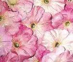 Petunia 'Marshmallow'