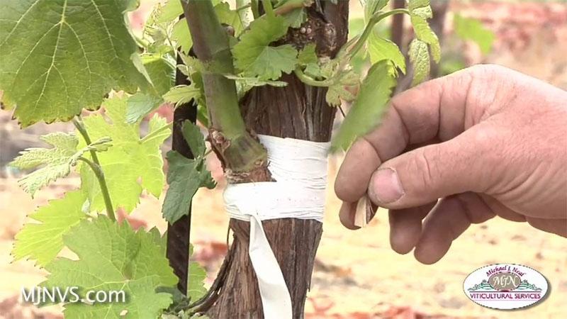Μπόλιασμα Κλήματος Αμπελιού (grafting a vineyard)