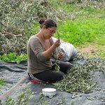 Φτιάχνω Λάδι - Από το Μάζεμα της Ελιάς έως το Ελαιοτριβείο