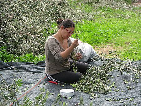 η Τατιάνα μαζεύει ελιές