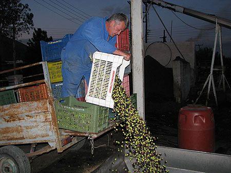 παραγωγός αδειάζει τις ελιές του στη χοάνη παραλαβής