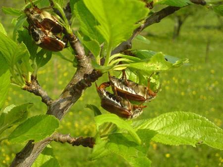 Μηλολόνθη σε φυτό