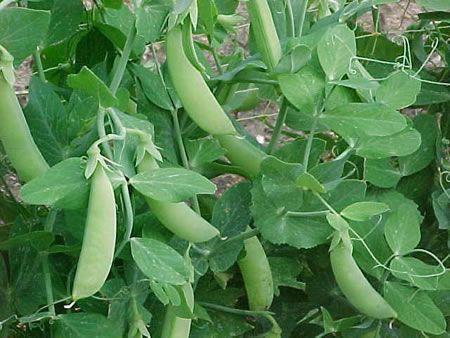 φυτό αρακά