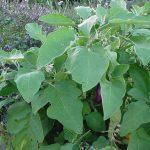 Πως Καλλιεργώ Μελιτζάνες - Οδηγίες & Συμβουλές