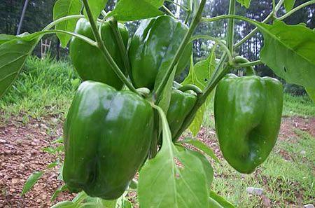 Γλυκιές πιπεριές