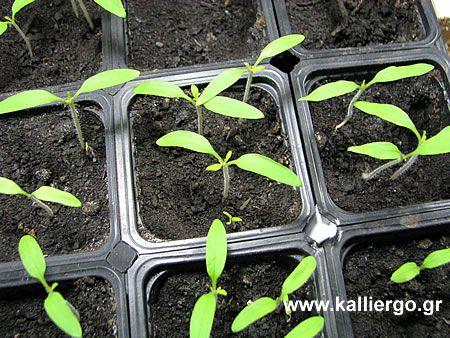Καλλιέργεια Ντομάτας (Τομάτας) - Πως Καλλιεργώ Ντομάτες