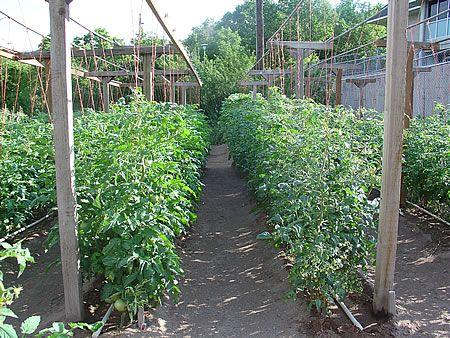 Στήριξη ντομάτας - σύστημα από οριζόντια σύρματα και κατακόρυφους σπάγκους