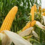 Καλλιέργεια Καλαμπόκι - Βασικές Γνώσεις