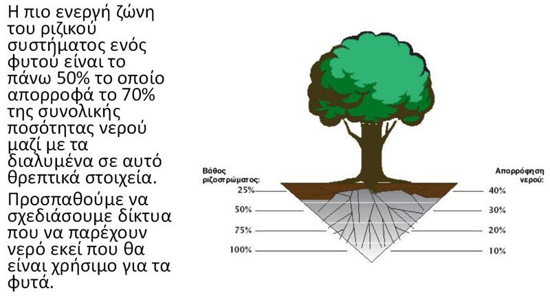 Το 70% της ποσότητας του νερού, απορροφάται από τις ρίζες που βρίσκονται στο 50% του βάθους του ριζικού συστήματος του φυτού