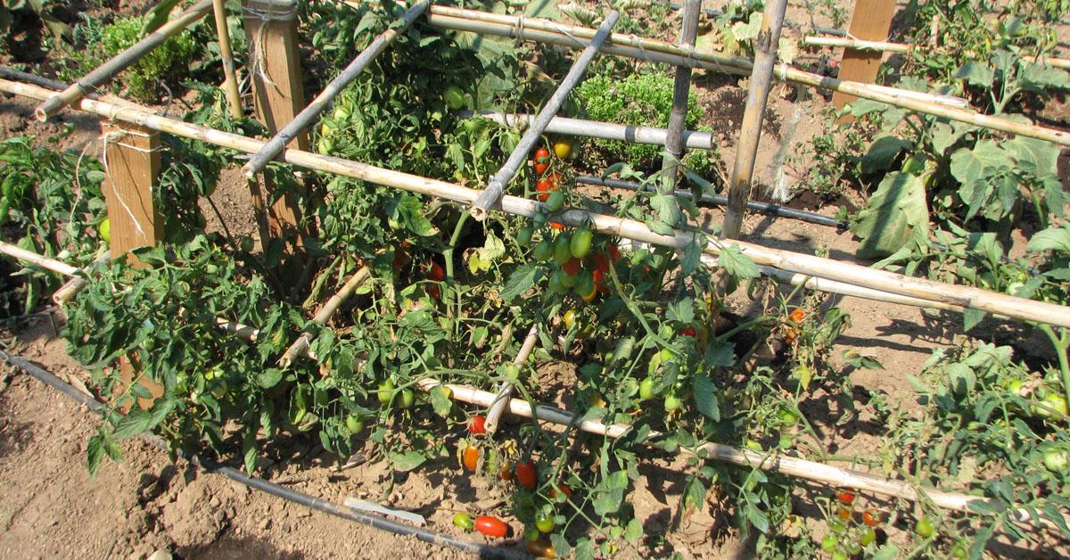 στήριξη ντομάτες με καλάμια σε μορφή κλουβιού