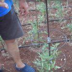 Ιδέα για την στήριξη ντομάτας - Άκης Αντωνιάδης