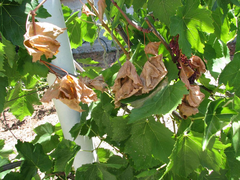 Ασθενεια του Pierce. Ξεραμένα φύλλα σε αμπέλι